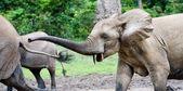 追求。大象攻击. — 图库照片