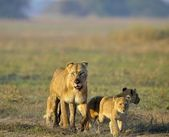 Lioness after hunting with cubs. — Stock Photo