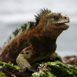 The marine iguana poses. 3 — Stock Photo