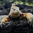 The marine  iguana poses. 2 — Stock Photo