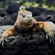 The marine iguana poses. 2 — Stock Photo #4105123