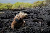 The marine iguana poses. — Stock Photo