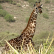 Stockfoto: Portrait of giraffe.