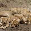 Six lions. — Stock Photo