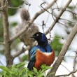 Superb Starling. — Stock Photo