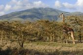 Giraffe in acacias. — Stock Photo