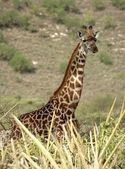 Portrait of giraffe. — Foto de Stock