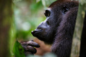 Western Lowland Gorilla eating. — Stock Photo