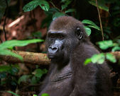 Portrait of Western Lowland Gorilla — Stock Photo
