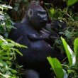 Portrait of male Lowland Gorilla. — Stock Photo
