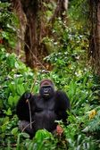 Portrait of male Western Lowland Gorilla. — Stock Photo