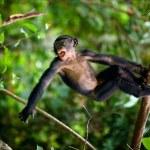 Kid Bonobo plays. — Stock Photo #4163367
