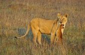 Lioness with prey. — Stock Photo