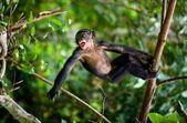 Kid Bonobo plays. — Stock Photo