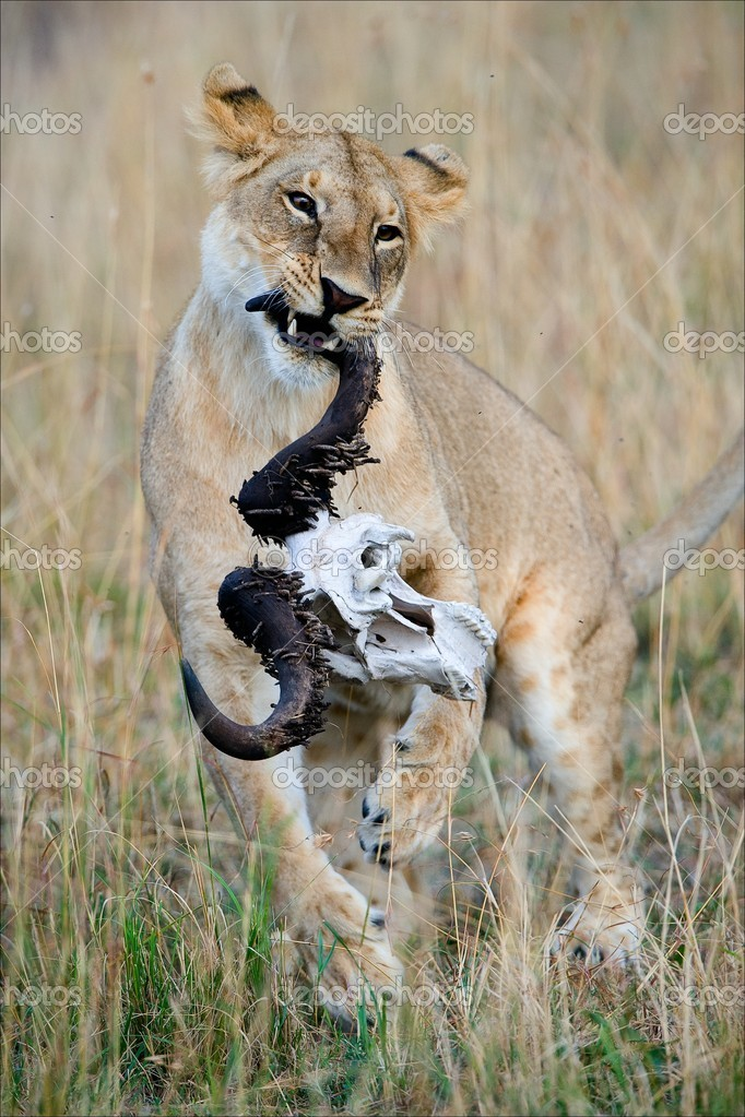 Lioness and a skull. The young lioness plays with a skull of a buffalo. Savanna. A yellow grass.  Stock Photo #4163197