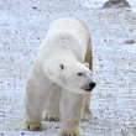 lední medvěd — Stock fotografie