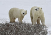 Polar bears. — Stock Photo