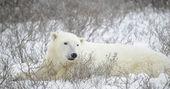 Bir kutup ayısı portresi. — Stok fotoğraf