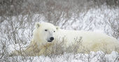 Portrait of a polar bear — Stock Photo