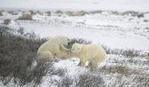 Pelea de osos polares. 1 — Foto de Stock
