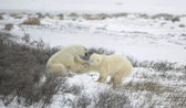 Kutup ayıları mücadele. 1 — Stok fotoğraf