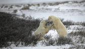 北极熊的战斗。2 — 图库照片