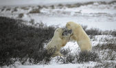 Fight of polar bears. 2 — Stockfoto