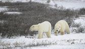 Dva lední medvědi. — Stock fotografie