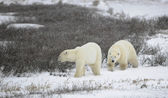 Two polar bears. — Stock Photo