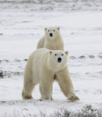 Polar bears have become interested. — Stock Photo