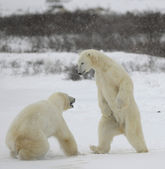 Fight of polar bears. 1 — Stockfoto