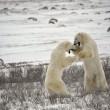 Kampf der Eisbären. 17 — Stockfoto