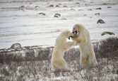 Fight of polar bears. 17 — Foto Stock