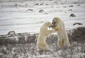 Kutup ayıları mücadele. 17 — Stok fotoğraf