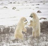 Slagsmål av isbjörnar. 18 — Stockfoto