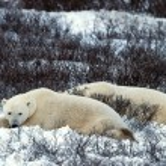 Rest of polar bears. — Stock Photo