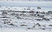 Polar dişi ayı yavrularını yaprakları ile. — Stok fotoğraf