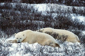 其余的北极熊. — 图库照片