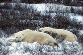 Resten av isbjörnar. — Stockfoto