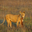 Stock Photo: Lioness with prey.