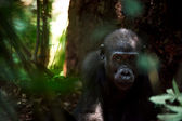 Kid of a lowland gorilla — Stock Photo