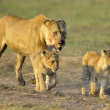 Stock Photo: Lioness after hunting with cubs.