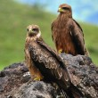 Two Black Kites. — Stock Photo