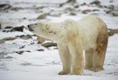 北极熊嗅探者. — 图库照片