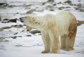 The polar bear sniffs. — Stock Photo