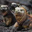 Stock Photo: Portrait of marine iguanwith relatives.