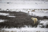 Funi ledních medvědů. — Stock fotografie