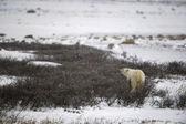 The polar bear sniffs. — Stock Photo