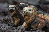 Portrait of the marine iguana with relatives. — Stock Photo