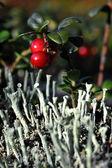 Cowberry bayas. — Foto de Stock